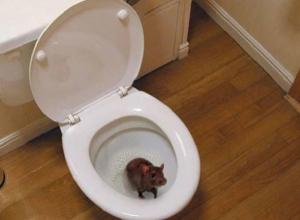 Неожиданная гостья, серая крыса, внезапно появилась в квартире в Шахтах