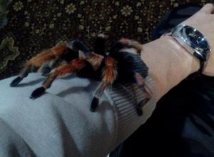 Огромный паук-птицеед пытался сбежать от шахтинского художника