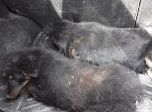 В Шахтах автолюбитель специально сбил собаку с щенком