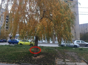 Шахтинцы скорбят по красавице-берёзе и прекрасному ореху, вырубленным в посёлке ХБК