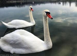 Шахтинцы переживают за лебедей, которые исчезли с пруда посёлка ХБК
