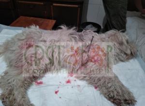 Маленькой, беленькой болонке в Шахтах прибили гвоздями лапы и опалил спину