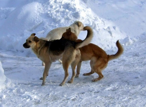 Стая бездомных собак бросается на шахтинцев