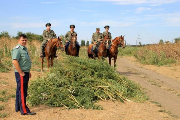 Залето вОктябрьском районе Дона уничтожили 4 тыс квмконопли