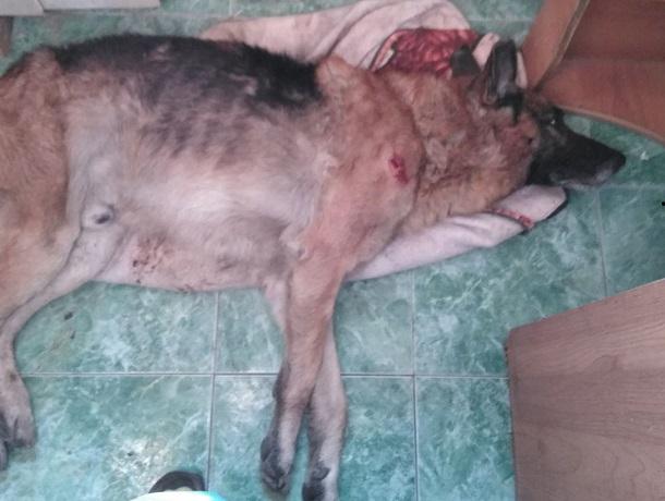 Собаку с ножевым ранением нашли на улице Промышленной в Шахтах
