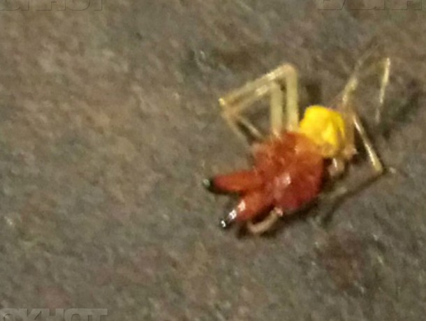 Недалеко от Шахт появились нетипичные для Дона ядовитые пауки
